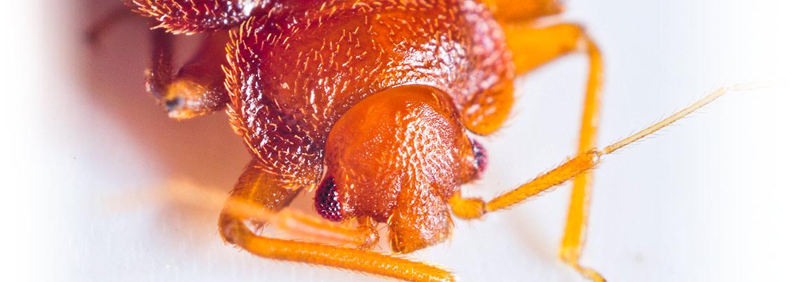 bedbug-slide