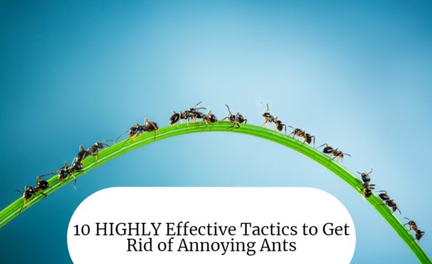 10 HIGHLY Effective Tactics to Get Rid of Annoying Ants