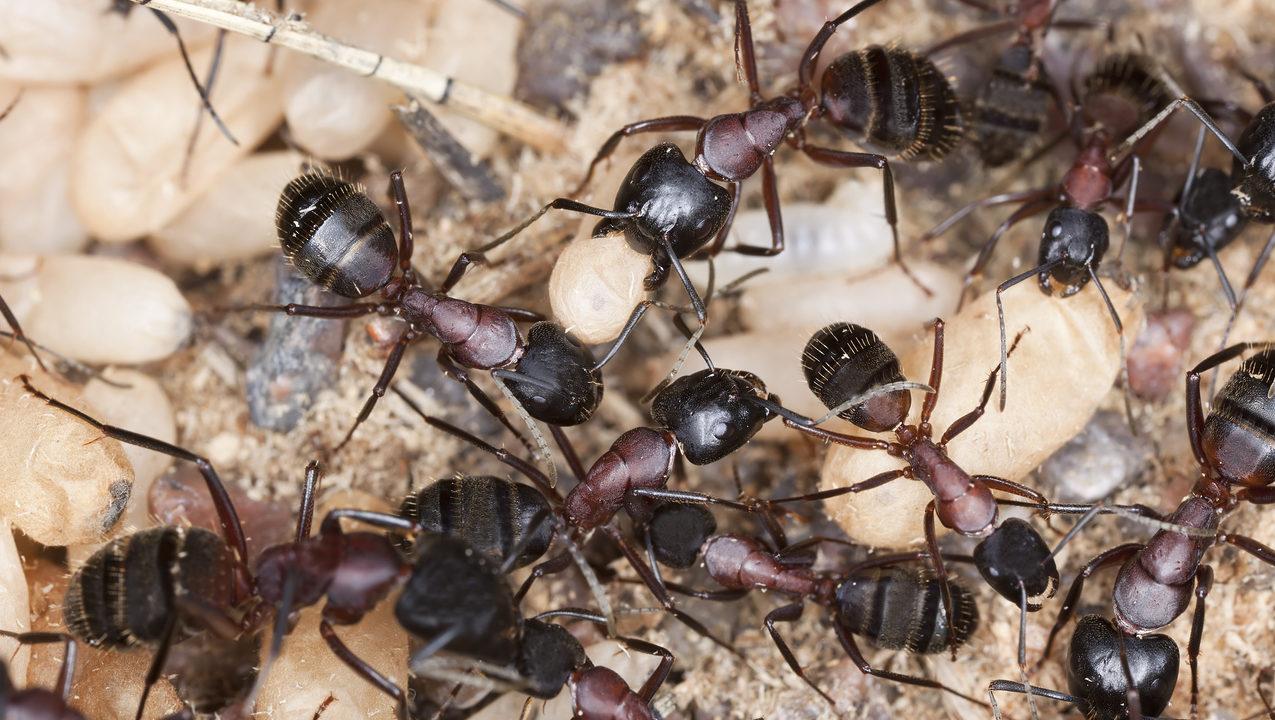 Carpenter Ant Pest Control Long Island, NY