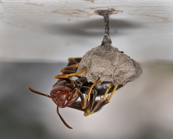 PAPER WASPS KNOWN FOR THERE PAPERLIKE NESTS