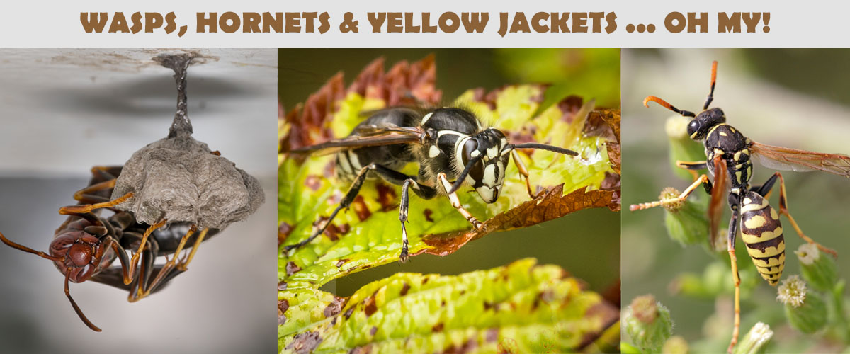 WASP, HORNETS, YELLOW JACKETS