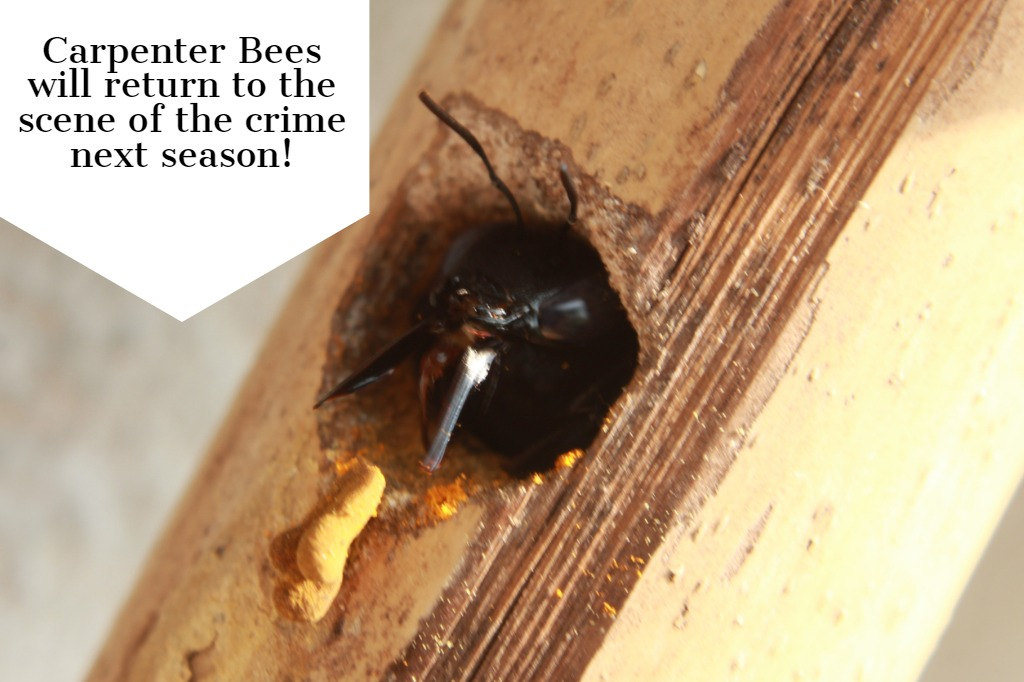 Carpenter Bees Will Return to the Scene of the Crime