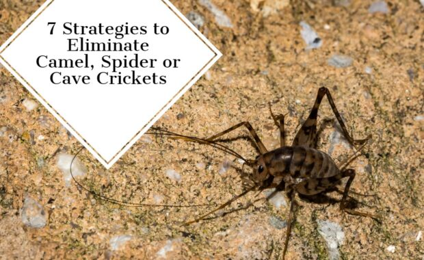 7 Strategies to Eliminate Camel, Spider or Cave Crickets