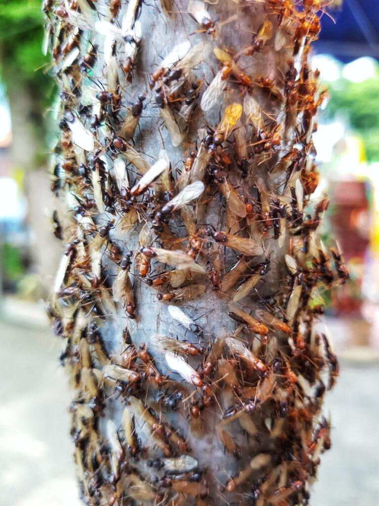 alates or termites swarm